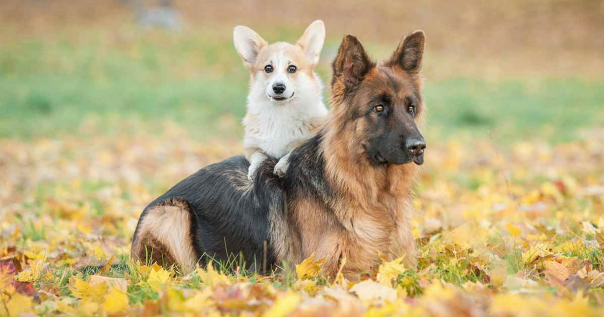 corgi mixes