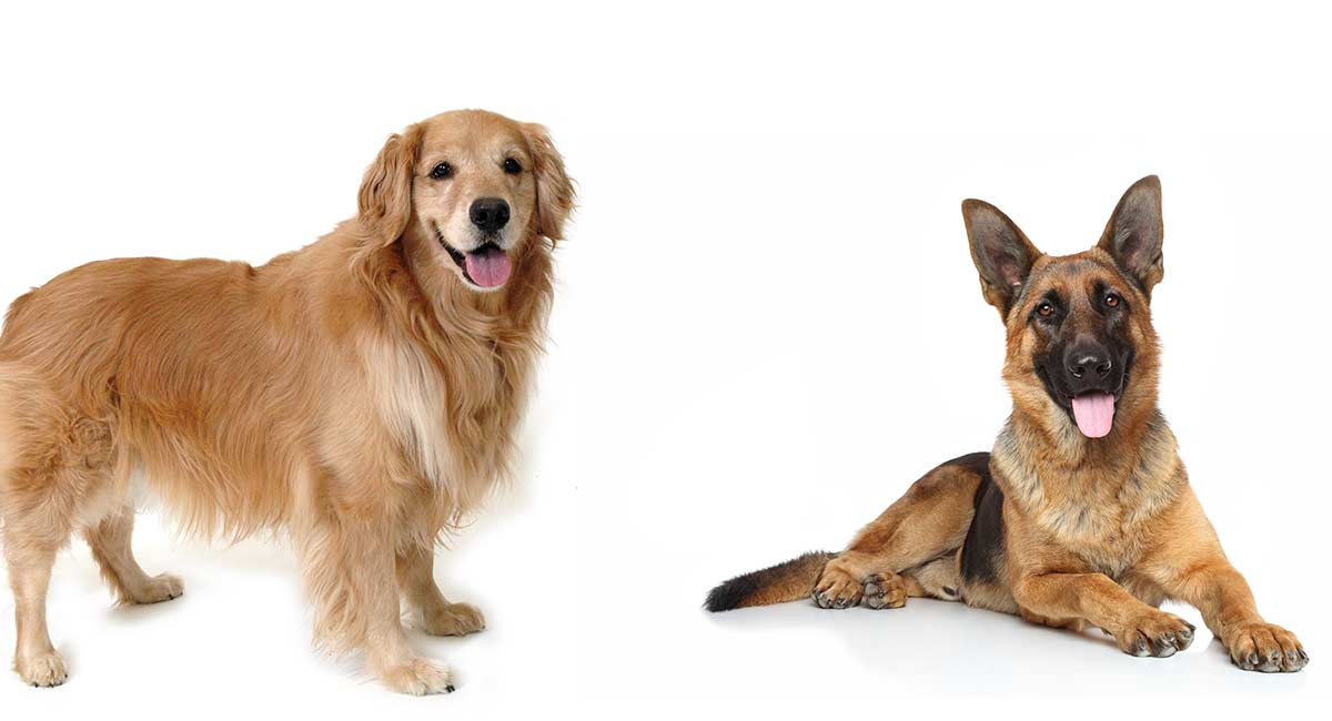 Golden Retriever Vs German Shepherd Which Pet Is Best