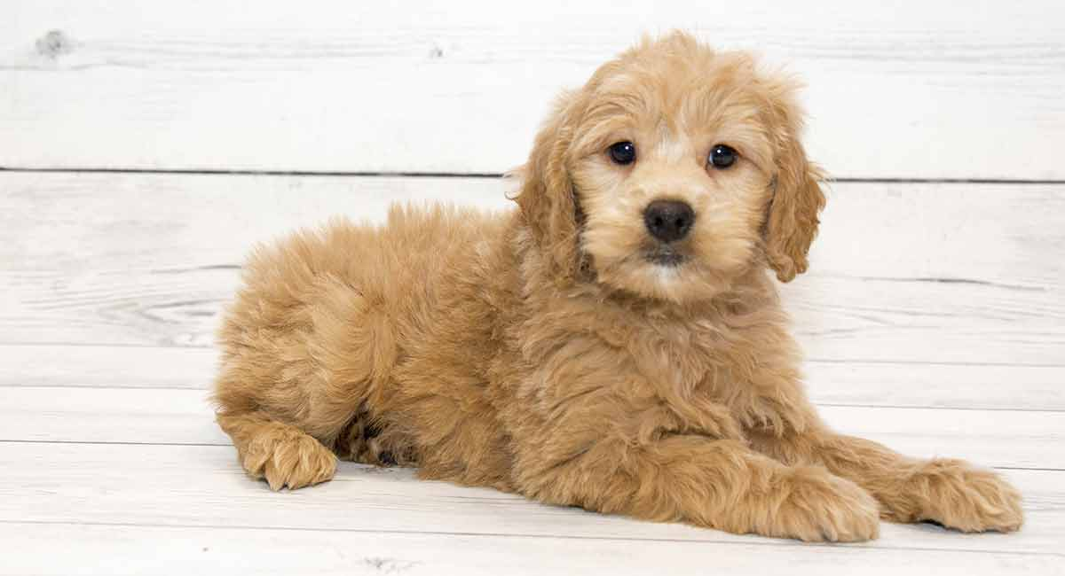Golden Retriever Poodle Mix: The Goldendoodle
