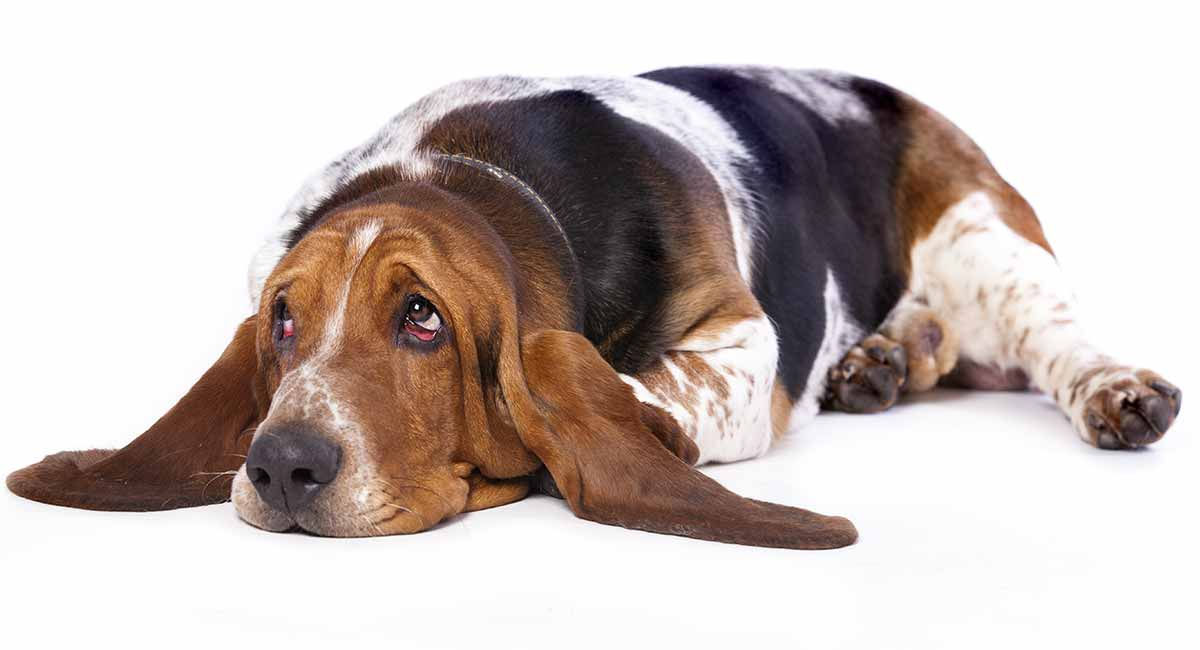Hind Leg Weakness In Dogs - Signs and Symptoms