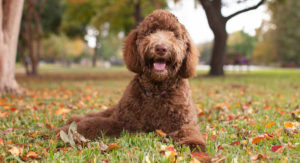 Labradoodle: The Poodle Lab Mix That's Taken the World by Storm