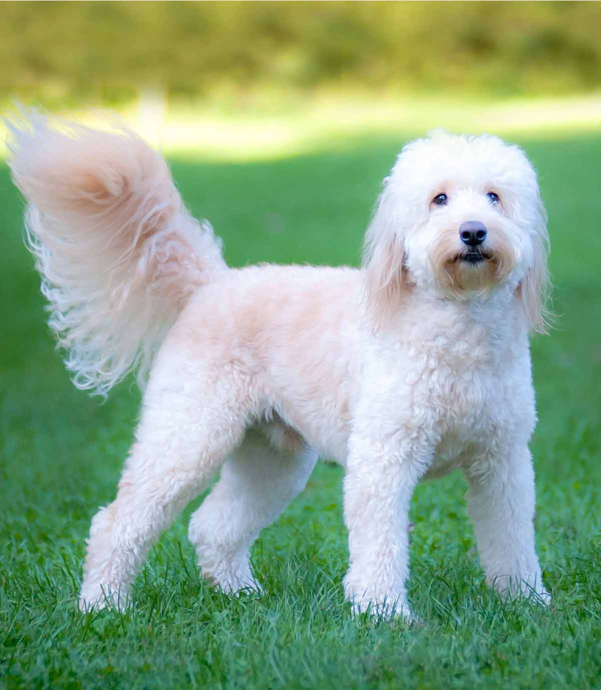 Labradoodle Vs Goldendoodle What Is The Difference Between
