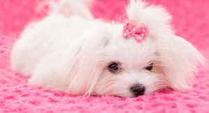 Long Haired Dogs – Gorgeous Hairy Breeds and How to Care for Them