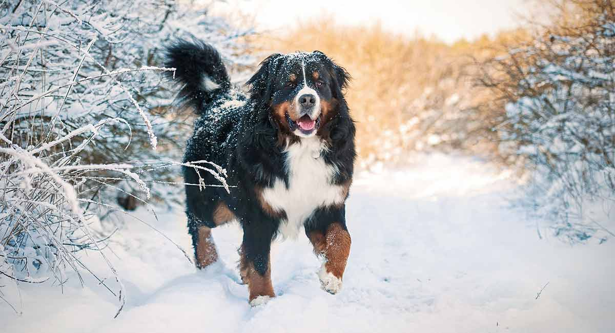 mountain dog breeds