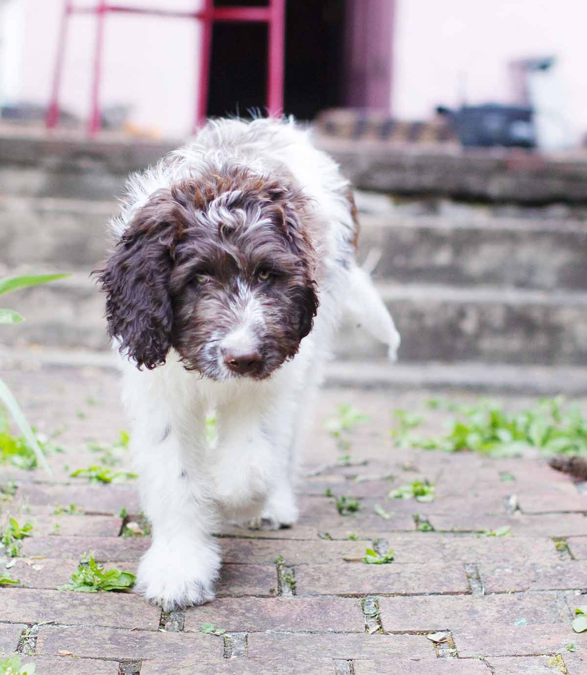 Newfypoo Get To Know The Newfoundland Poodle Mix