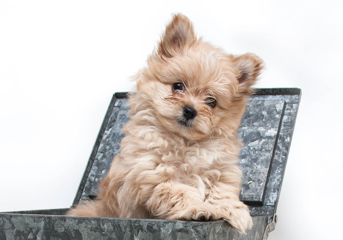 Pomapoo Is The Pomeranian Poodle Mix