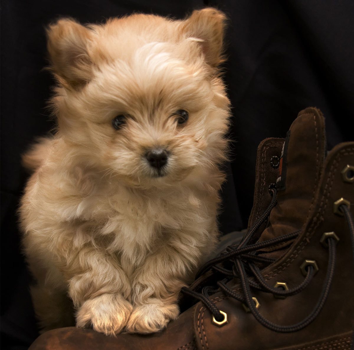 Pomapoo – Is The Pomeranian Poodle Mix For You?