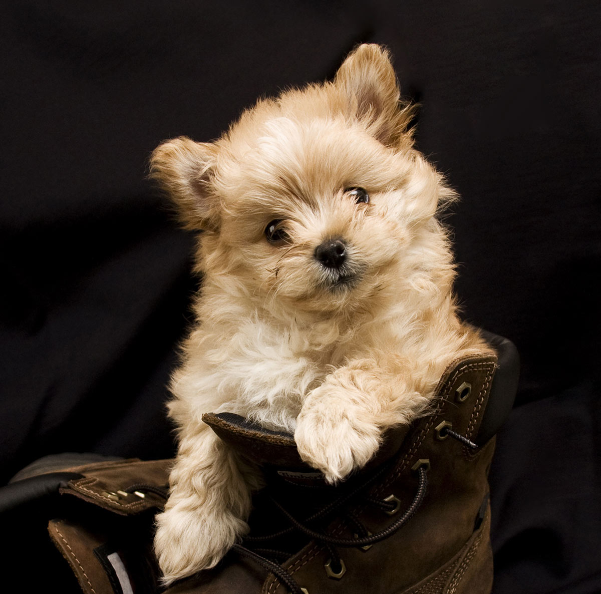 what is a pomapoo