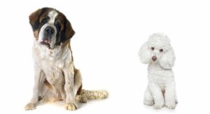 Saint Berdoodle – The Loyal St Bernard Poodle Mix