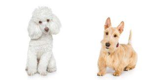 Scoodle or Scottie Poo – The Scottish Terrier Poodle Mix