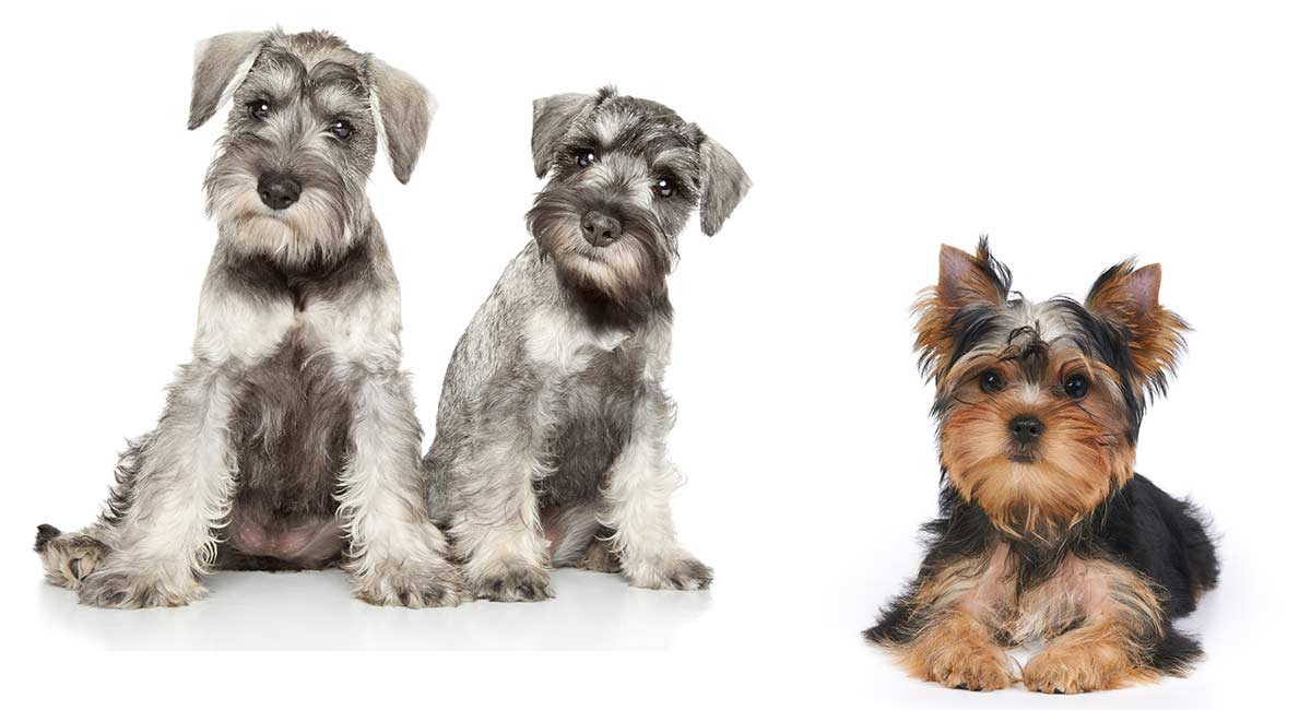 Snorkie Is The Miniature Schnauzer Yorkie Mix Right For You