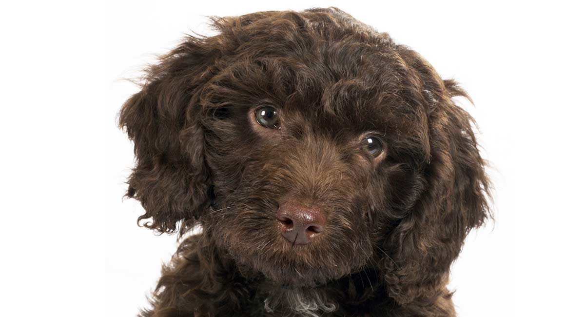 Springerdoodle – The Springer Spaniel Poodle Mix