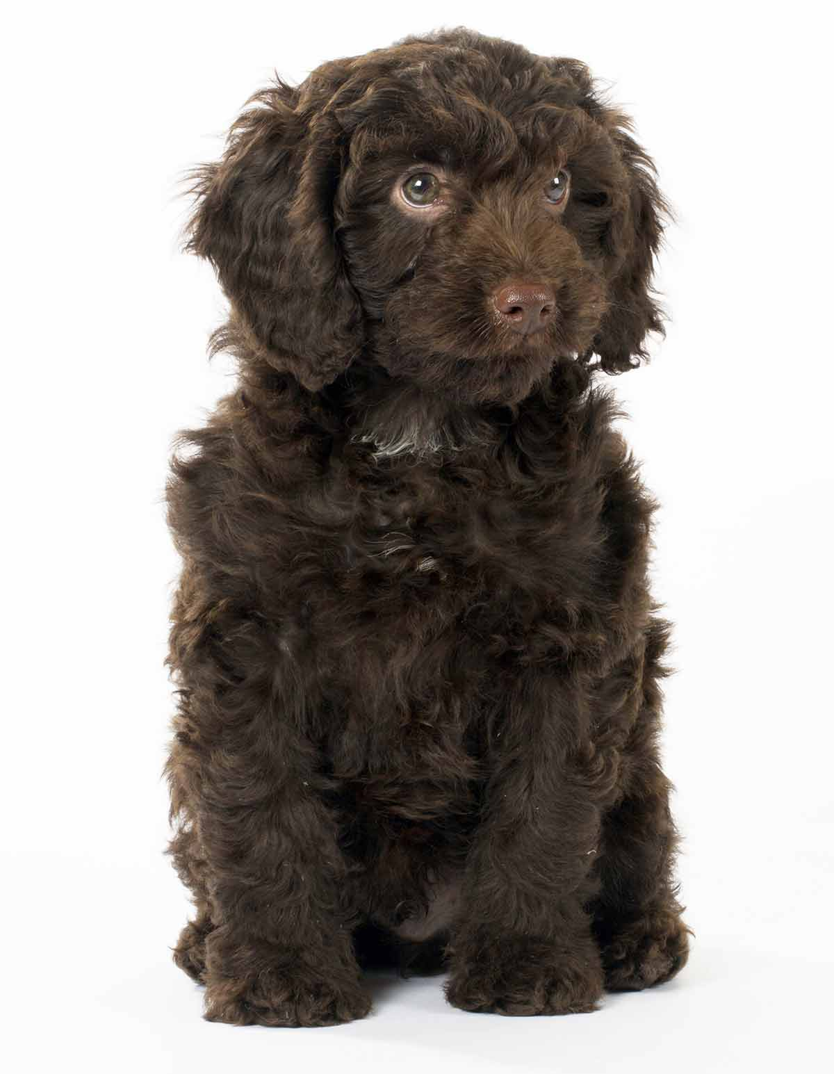 Springerdoodle The Springer Spaniel Poodle Mix