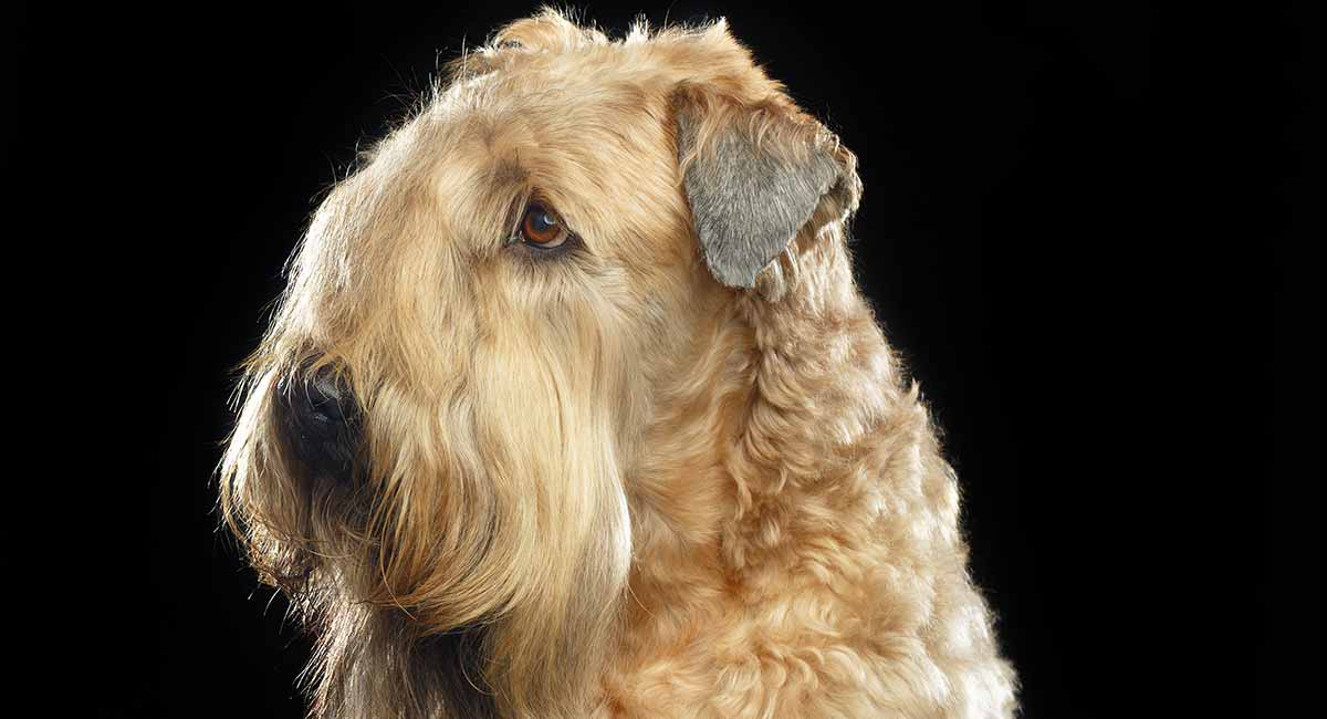Wheaten Terrier Dog Breed Information The Soft Coated Wheaten Terrier