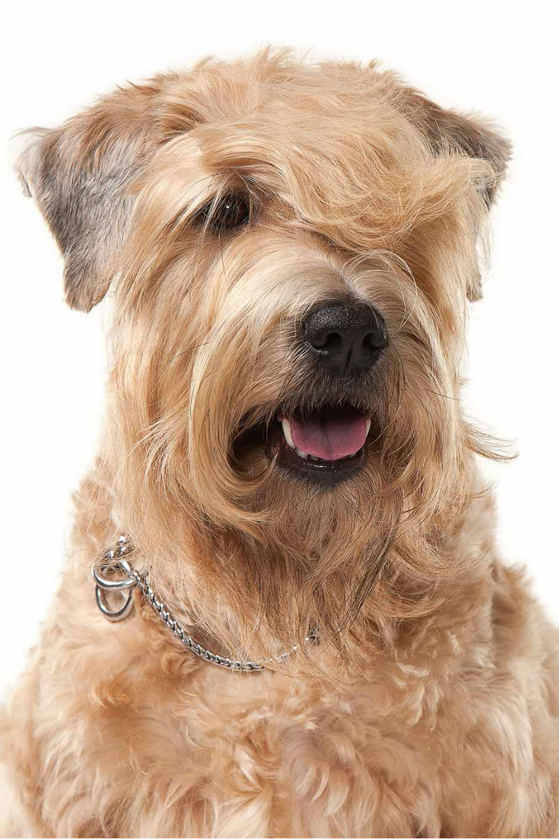 Haircuts For Wheaten Terriers | soft coated wheaten terrier haircut haircuts you ll be asking for in 2020