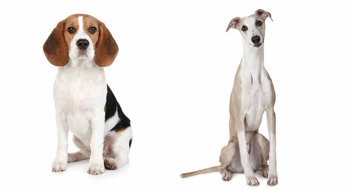 beagle mixes