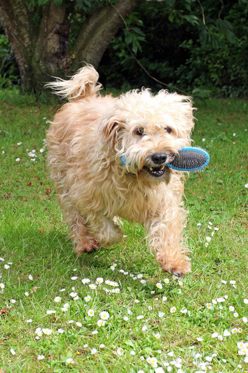 Whoodle: A Soft-Coated Wheaten Terrier Poodle Mix