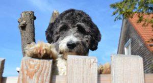 Aussiedoodle – The Australian Shepherd Poodle Mix