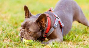 Best French Bulldog Harness – Which Frenchie Harness Is Best, And Why?