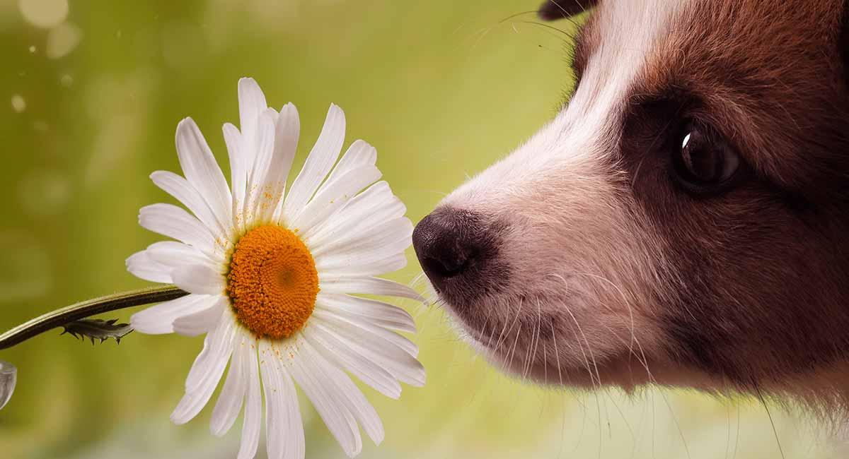 dog hayfever