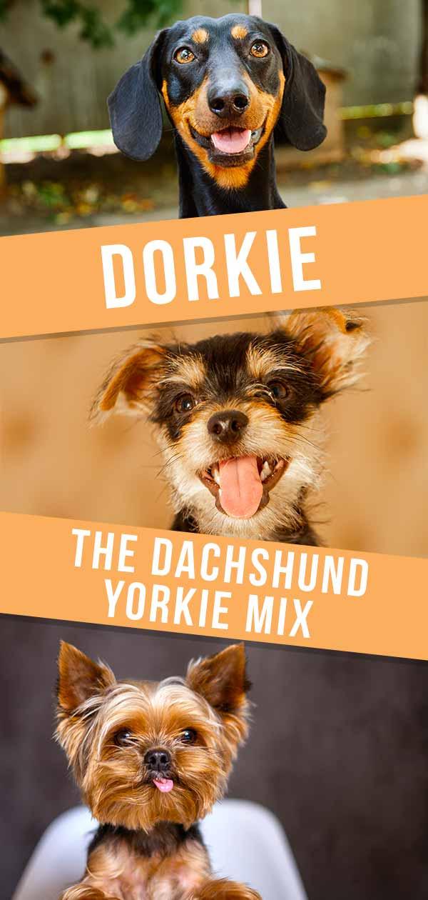 Dorkie – The Dachshund Yorkie Mix HP