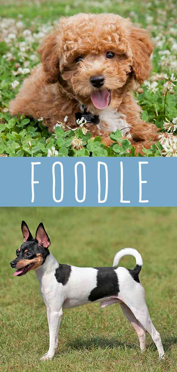 Foodle Dog Mix Breed Information Center The Fox Terrier