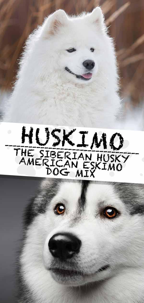 Husky American Eskimo mix