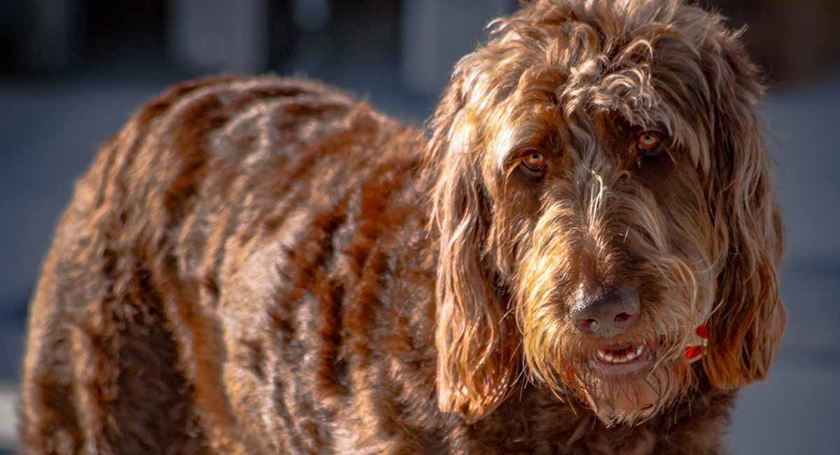 Irish Doodle Information Center The Irish Setter Poodle