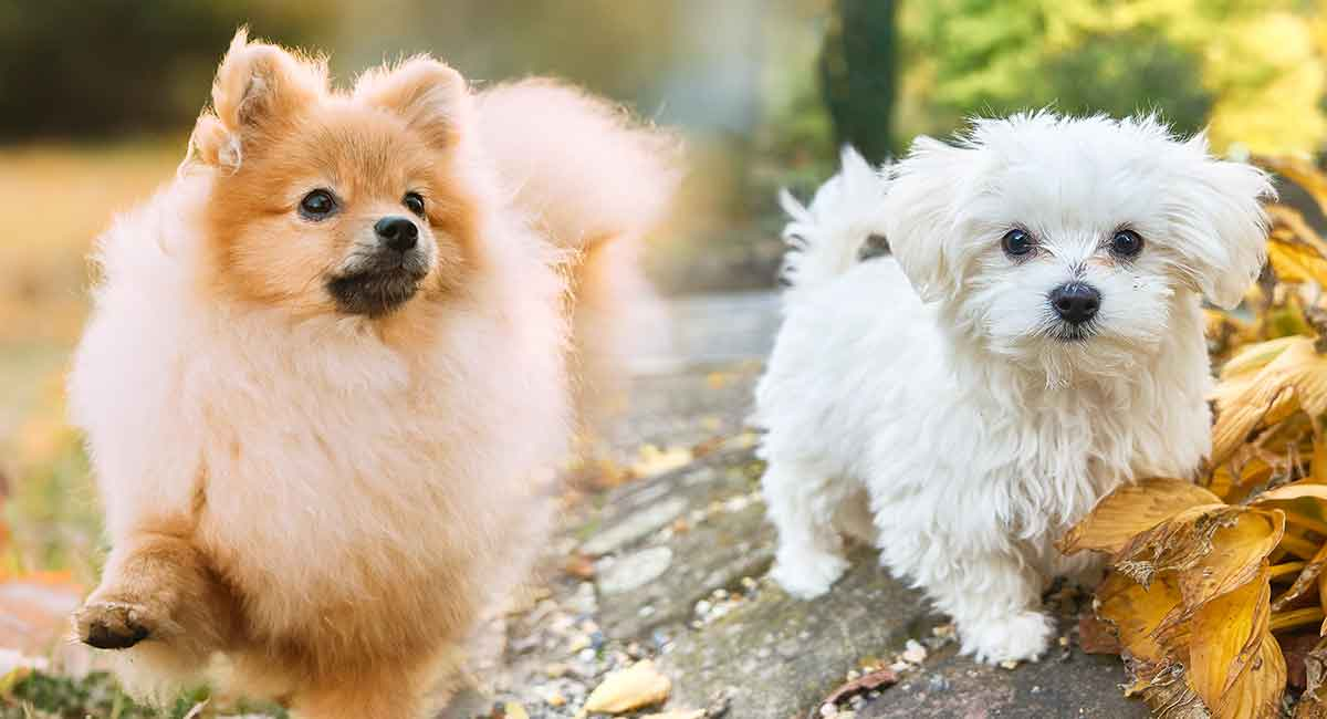 Maltipom – The Maltese Pomeranian Mix