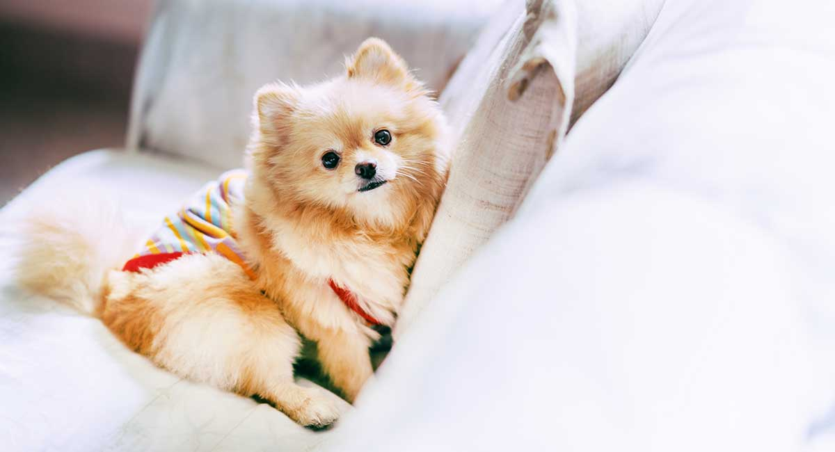 Pomeranian Names - The Very Best Names For Your Beautiful Puppy