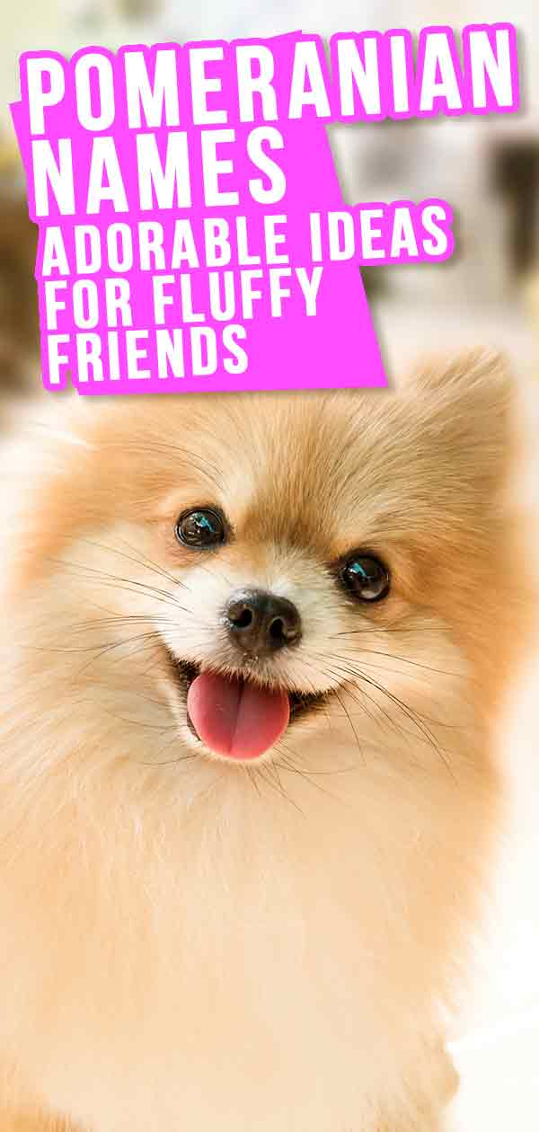 Pomeranian Names The Very Best Names For Your Beautiful Puppy