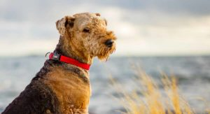 Airedale Terrier – Your In-Depth Guide a Beautiful Breed