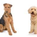 Airedoodle – The Airedale Terrier Poodle Mix