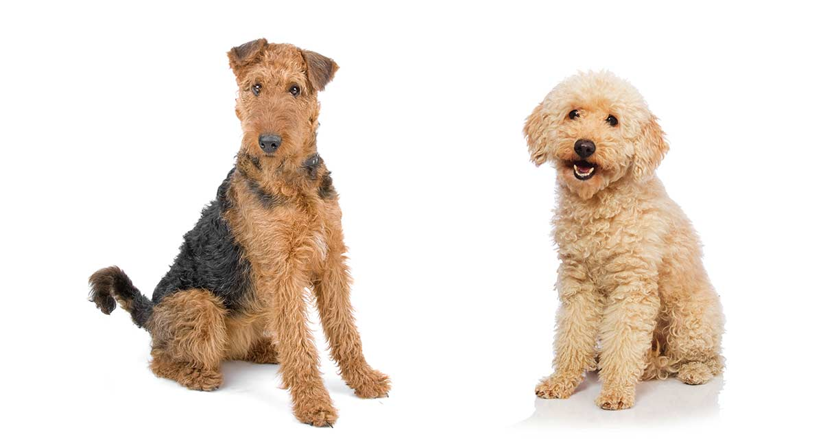 The Airedale Terrier Poodle Mix