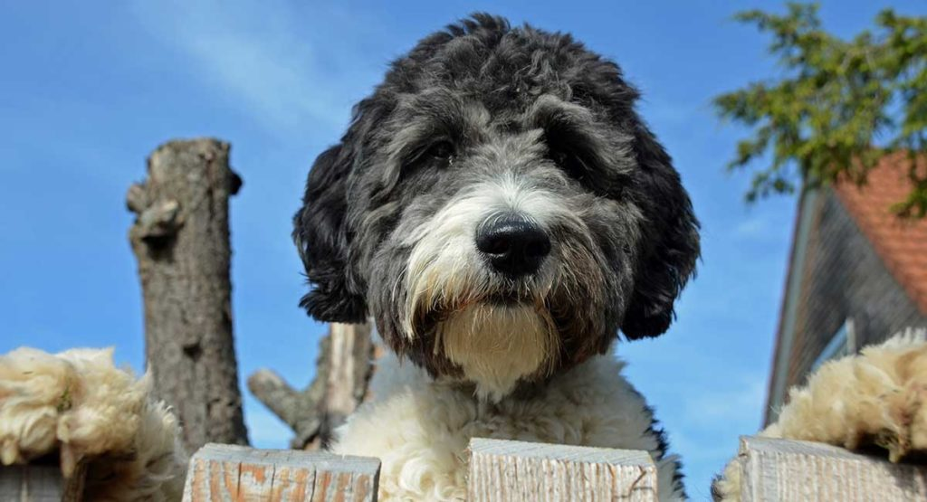 What is an Aussiedoodle?