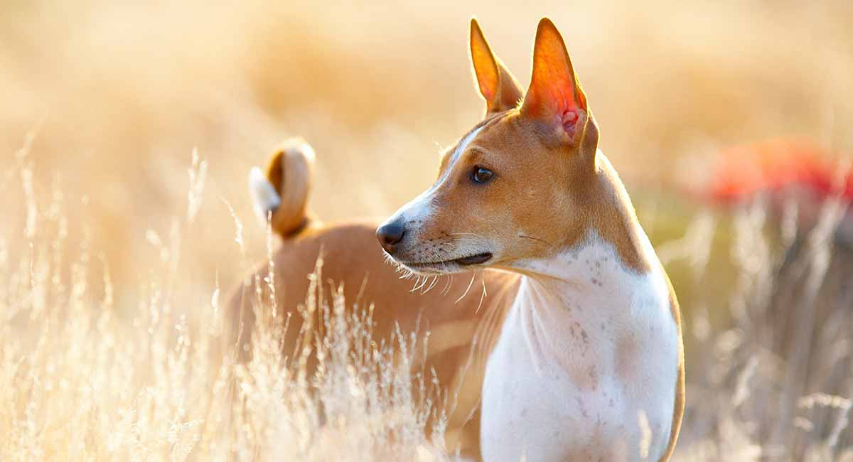 What does a Basenji look like?