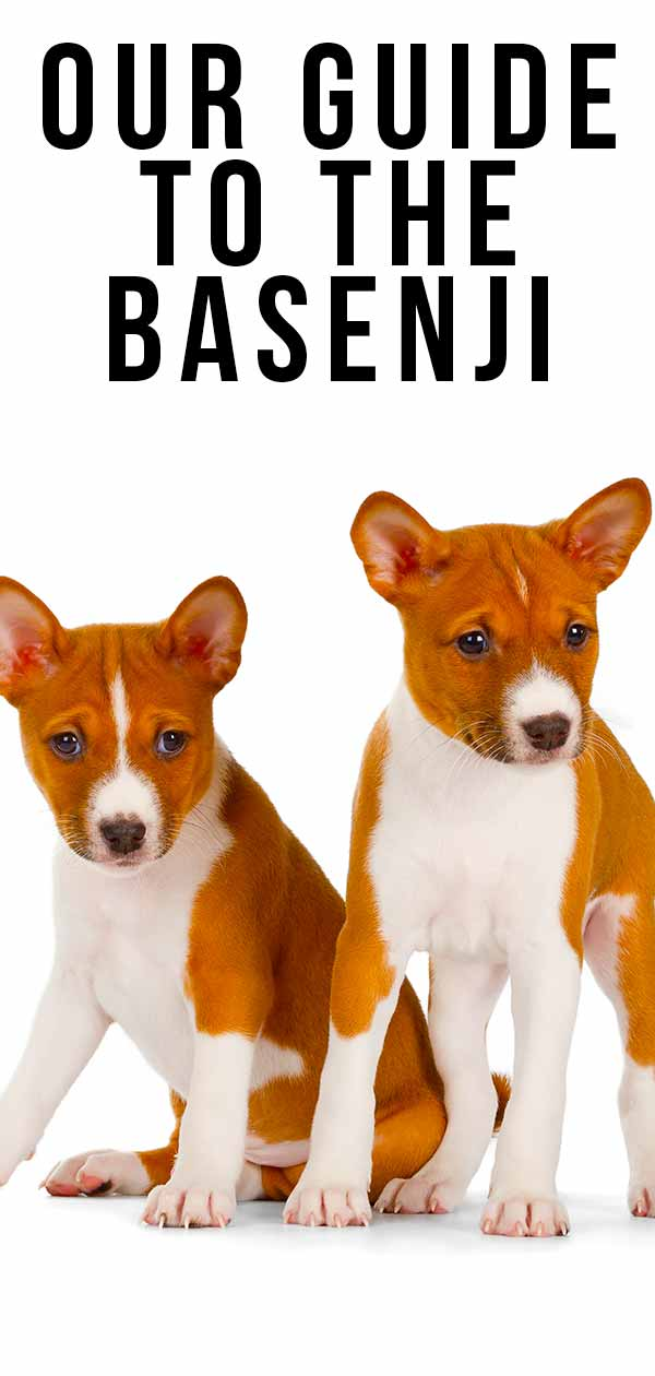 Check out the Basenji!
