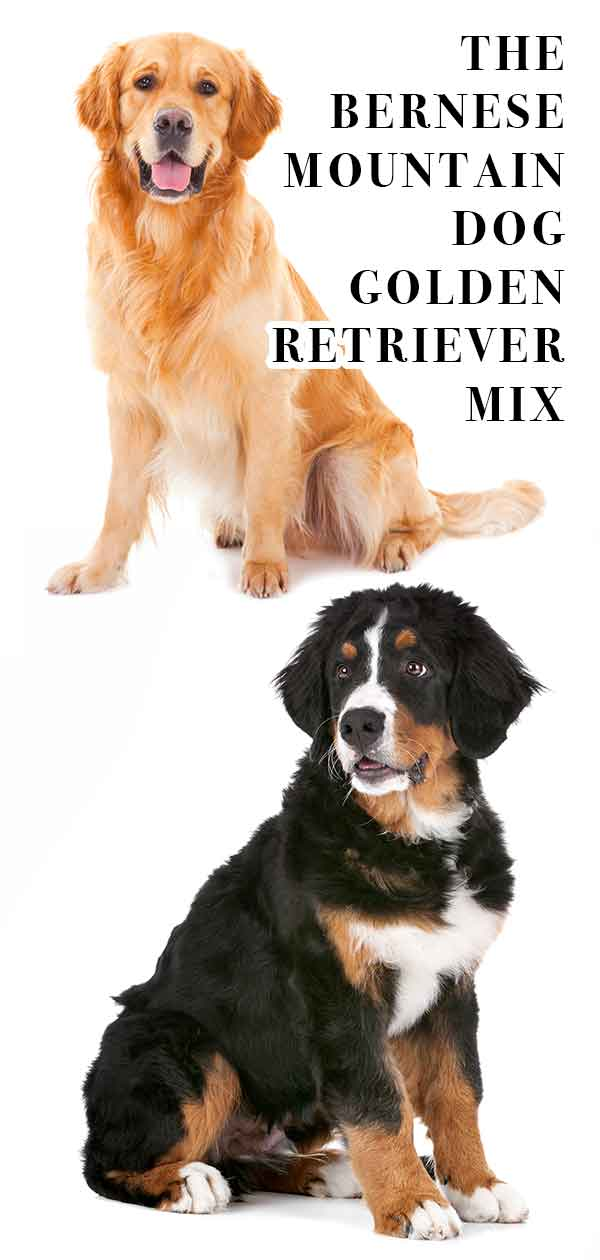 bernese mountain dog golden retriever mix