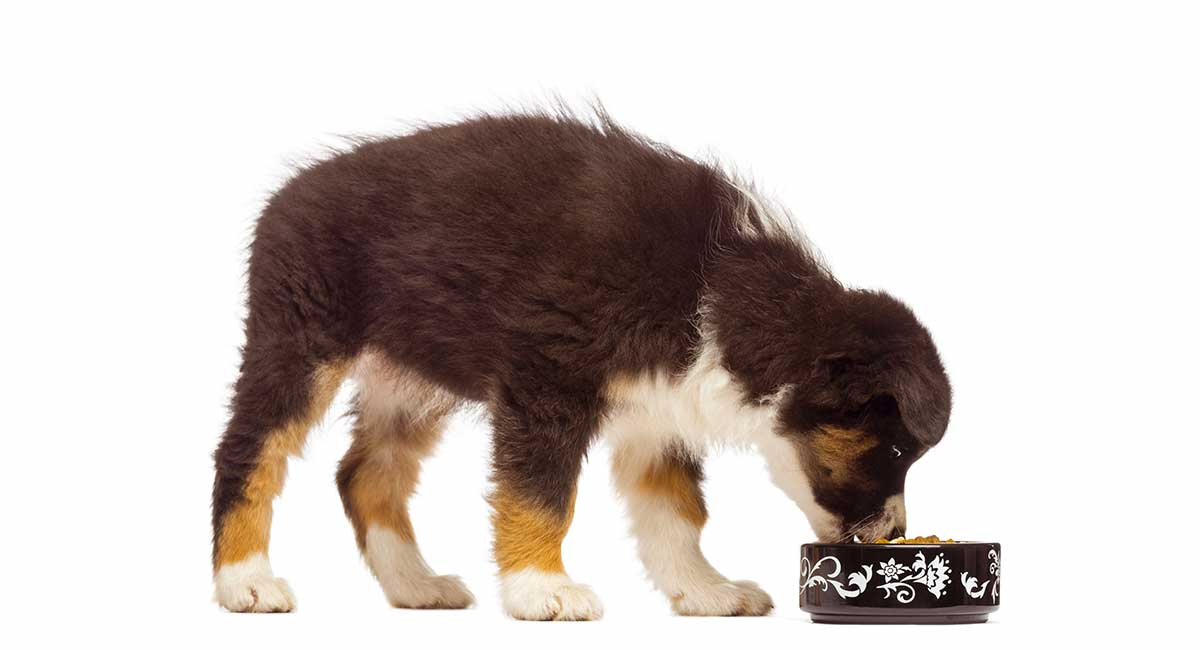 Best Food For Australian Shepherd Puppy