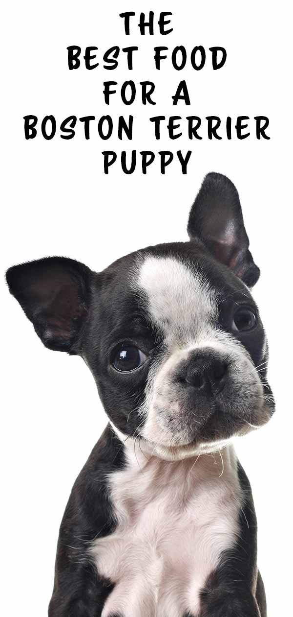 Best Food For Boston Terrier Puppy Dogs The Happy Puppy Site