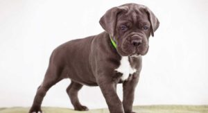 Best Food For Cane Corso Puppy Dogs