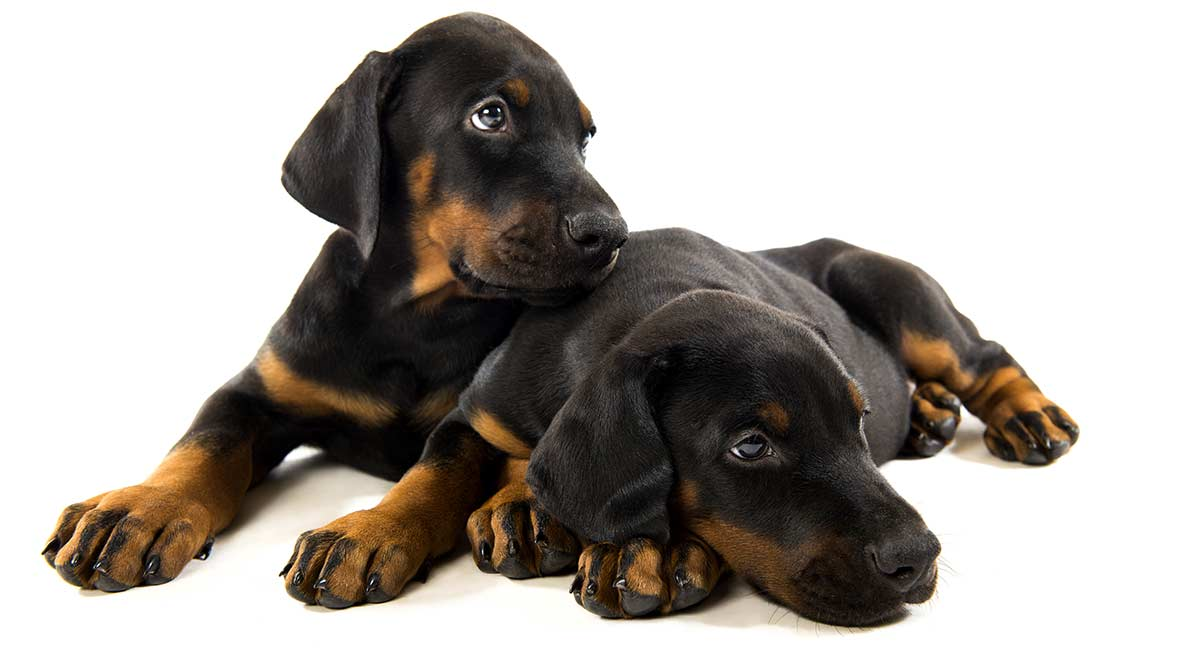 best food for doberman puppy