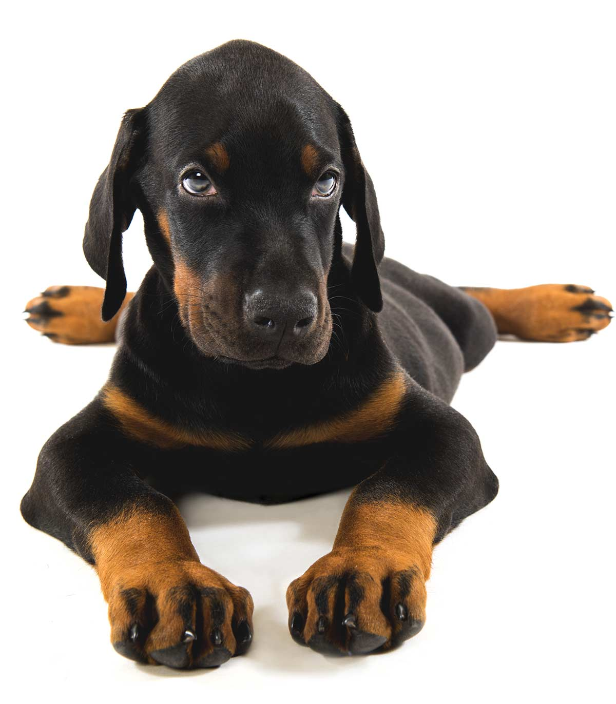 Best Food For Doberman Puppy Growth And Development