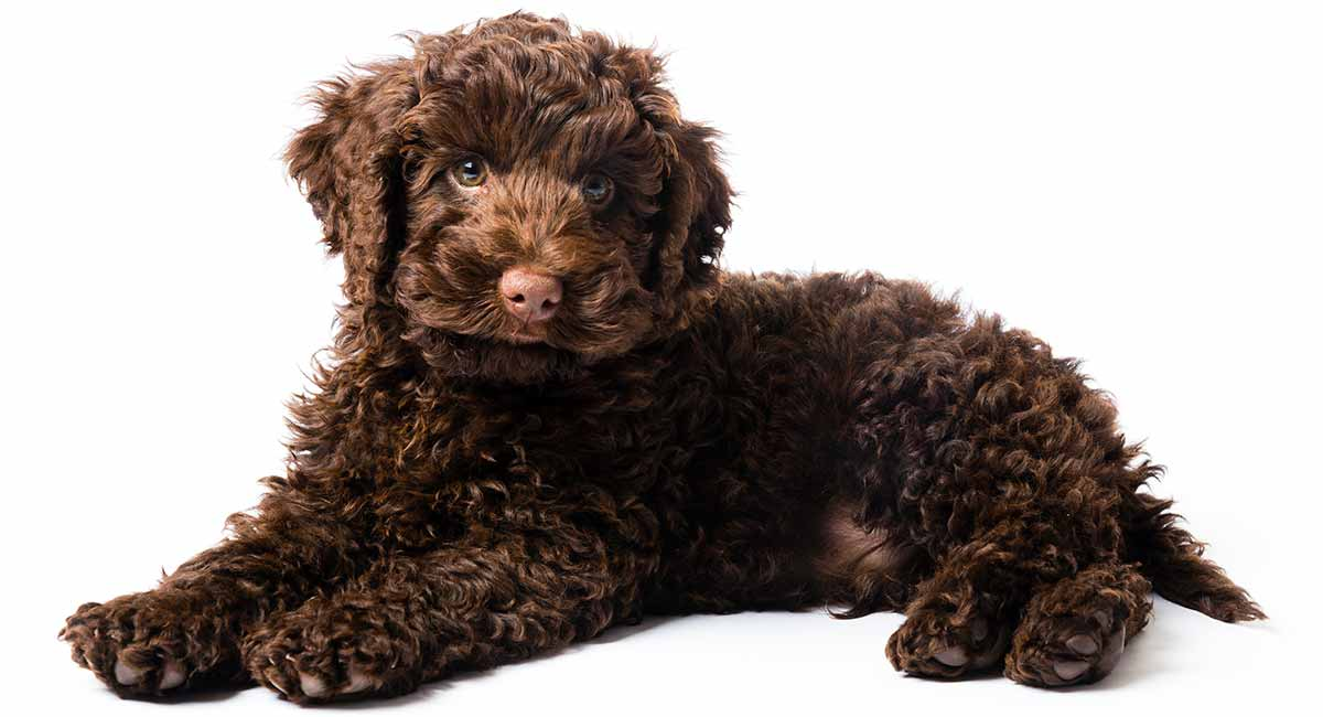 best puppy food for labradoodles
