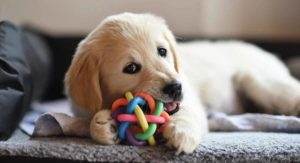 Best Toys For Golden Retrievers That Love To Play