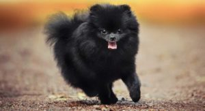 Are you interested in a black Pomeranian?