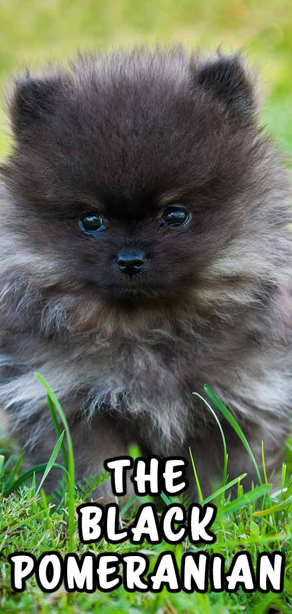 Learn more about a black Pomeranian!