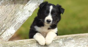 border collie - scottish dog breeds