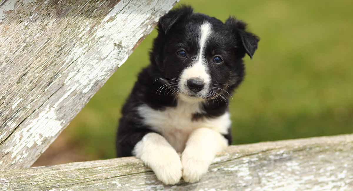 border collie - scottish dog breeds