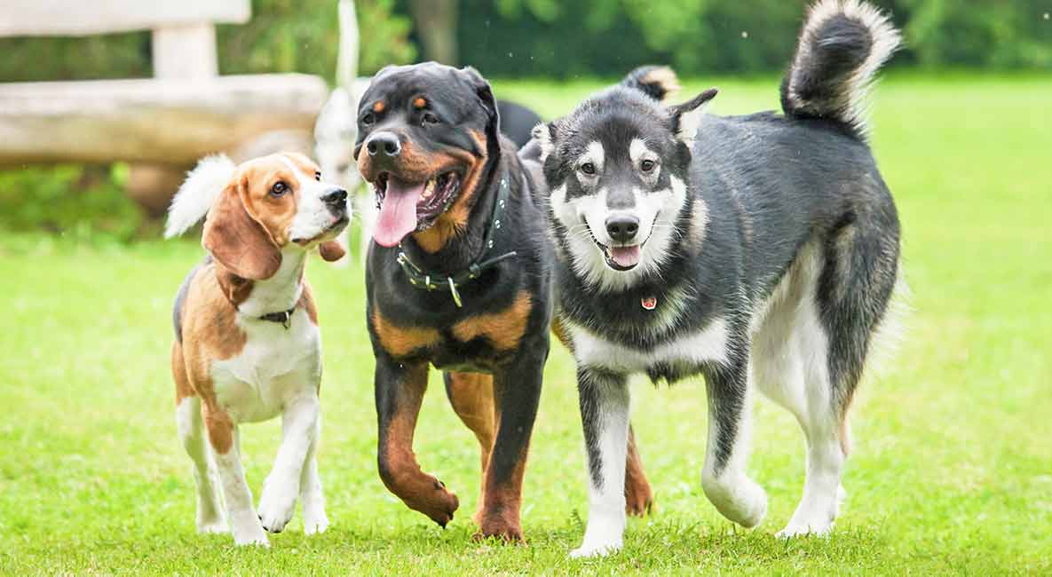 Dog Breeds Detailed Reviews Of Purebred And Mixed Breed Dogs